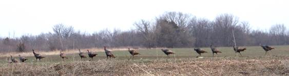 Trails_Turkeys